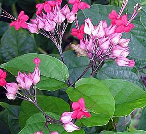 clerodendrum-spes