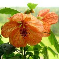 Abutilon Bella
