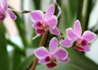 Все о размножении орхидей
