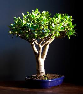 Денежное дерево правила полива в разные времена года