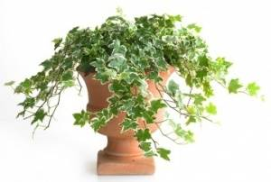 Плющ комнатный - неприхотливое растение