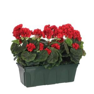 Герань - популярное неприхотливое комнатное растение