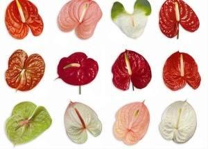 Листья различных сортов антуриума: красные, зеленые, розовые, белые и другие