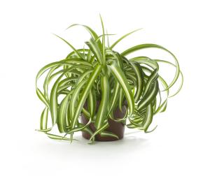 Хлорофитум - самое неприхотливое цветущее комнатное растение