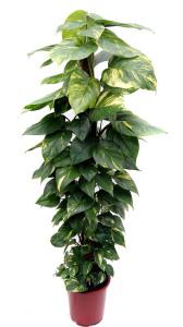 Сциндапсус (Эпипремнум)  - комнатное растение, неприхотливое в уходе