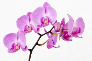 Orchids-Flower-Wallpapers4