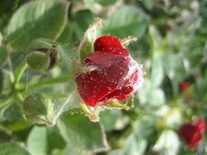 Методы лечения комнатной розы от паутинных клещей