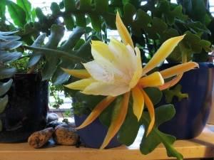 Декабрист (эпифиллюм) - очень необыкновенное и красивое во время цветения растение
