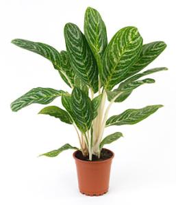 Аглаонема - растения семейства ароидные. Рекомендации по уходу