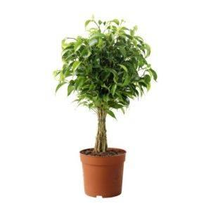 Фикусы бенджамина: наташа и кинки - миниатюрные домашние деревья