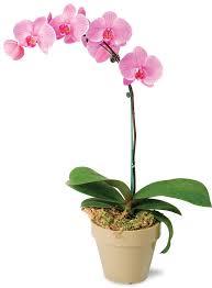 Как удобрять фаленопсис во время цветения