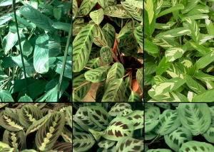 Наиболее популярные виды и разновидности маранты: триколор, беложильчатая, тросниковая