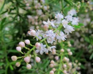 Аспарагус или спаржа - немногие знают, что это совсем неприхотливое растение очень красиво цветет.