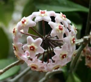 Восковой плющ (хойа) - декоративно цветущее неприхотливое домашнее растение