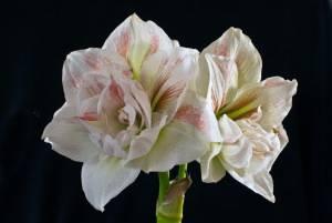 Виды луковичных растений: гипераструм