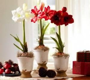 Амаралис - популярное луковичное растение