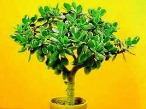 Лечебные свойства денежного дерева