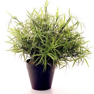Растим аспарагус дома: основные виды и требования к уходу