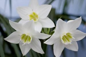Фото луковчиных растений - эухарис