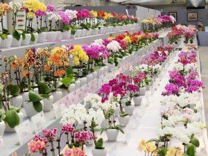 Все о рамзножении орхидеи фаленопсиса в домашних условиях