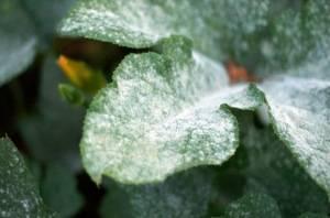 Что такое мучнистая роса и как с ней бороться