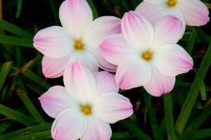 Зефирантес - часто встречаемое луковичное растение