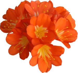 Кливия - луковичное растение с яркими цветками