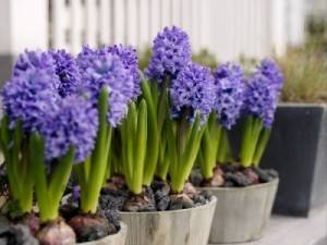 Фото цветущего луковичного растения