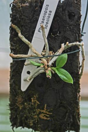 Размножение фаленопсиса детками