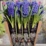 Луковичные растения пригодные для выращивания дома