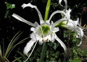 Гименокалис приятный - неординарный цветок, относящийся к луковичным