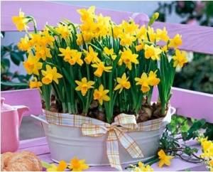 Желтый цветущий луковичный цветок в оригинальном горшке