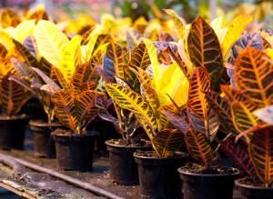 Азиатский цветок кротон: особенности размножения