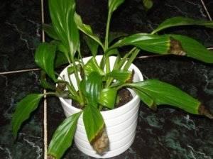 Пораженное болезнью растение