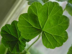 листья герани от чего помогают