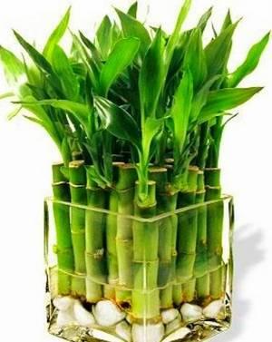 Вода естественная среда обитания бамбука