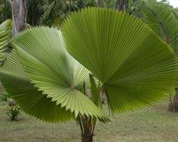 Пальма зонтик