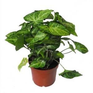 Комнатное растение сингониум