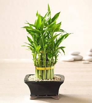 Бамбук цветок счастья