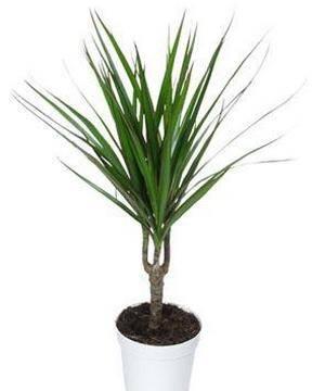 Драцена маргината эффектное растение