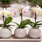 Размножение орхидеи у вас дома