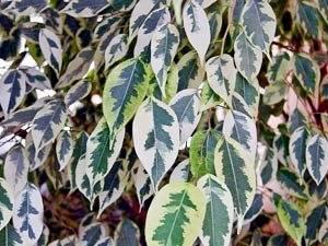 Фикус бенджамина имеет нежные листья
