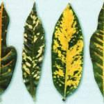 Почему желтеет любимый спатифиллум и как с этим бороться?
