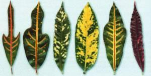 Формы листьев кротона