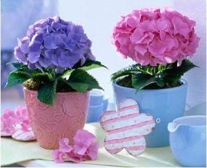 гортензии розовая и фиолетовая прекрасно смотрятся в горшках