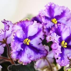 Фиалку важно подкармливать для цветения