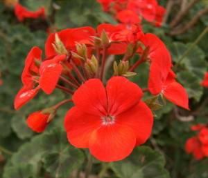 Кроваво-красная герань и ее лечебные свойства