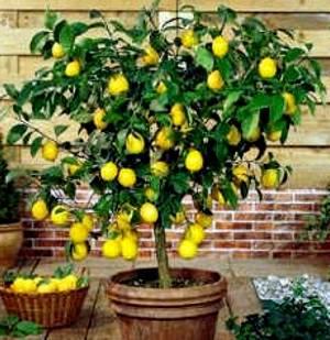 Лимон прихотливое растение