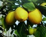Сорт лимон Лисбон