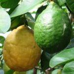 Сорт лимон Пандероза